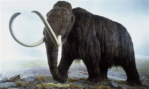 mammoth images neanderthals cleared of driving mammoths cliff in