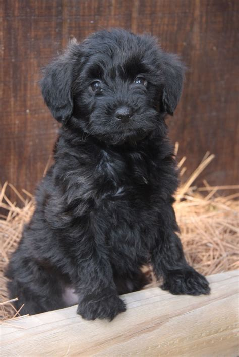 yorkie poo black yorkiepoo terrier poodle mix info temperament diet puppies