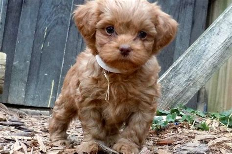 shih tzu yorkie mix puppies for sale michigan poodle yorkie shih tzu mix www imgkid the image kid has it