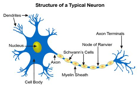 nerve cell diagram seer nerve tissue