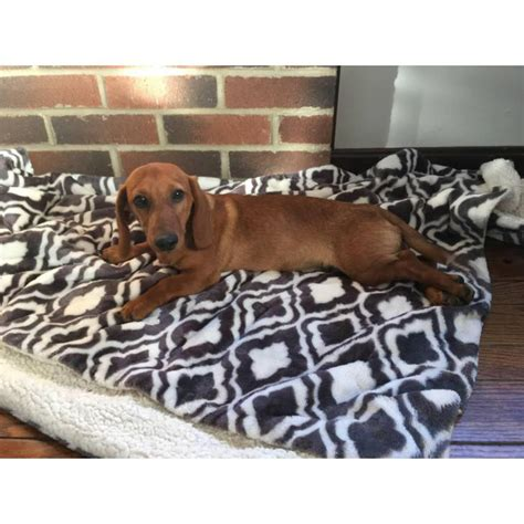 puppies houston tx miniature dachshund breeders houston tx dogs in our photo