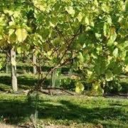 piantare uva da tavola uva cardinal vite