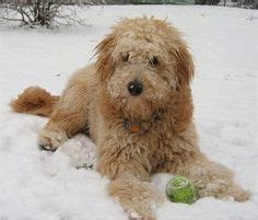 mini goldendoodle alberta doodle goldendoodle and labradoodle mix my
