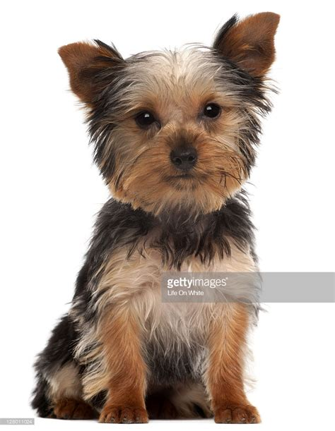 yorkie puppy pictures terrier puppy stock photo getty images