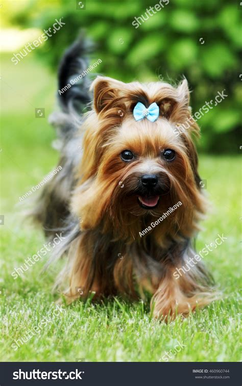 are yorkies family dogs small decorative family terrier stock photo 460960744