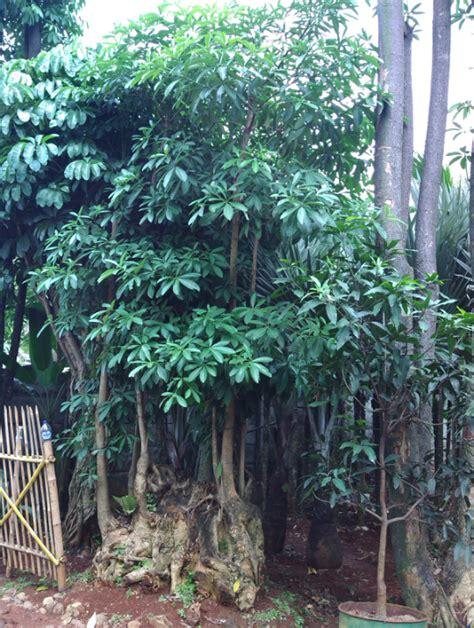kualitas ok tanaman gantung hias pohon pule banyak diburu oleh pecinta tanaman hias tips