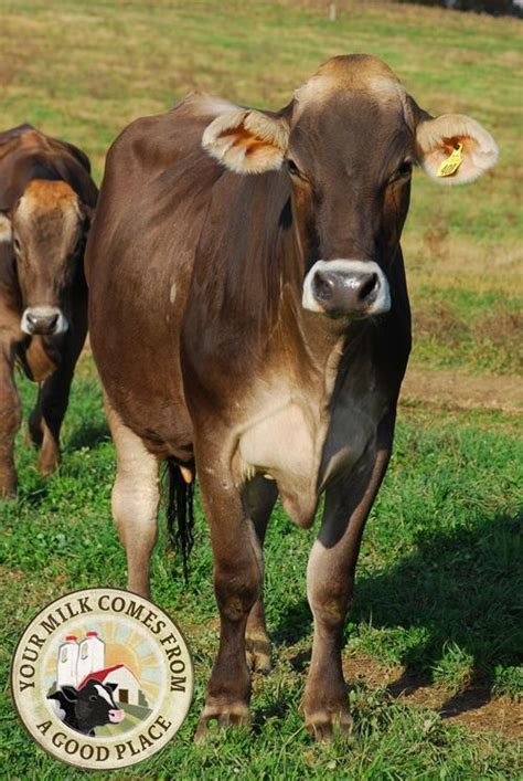 brown breeds best 25 dairy cow breeds ideas on dairy farmers milk breeds of cows and