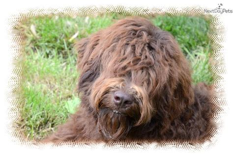 goldendoodle southern indiana goldendoodle rescue goldendoodle rescue illinois