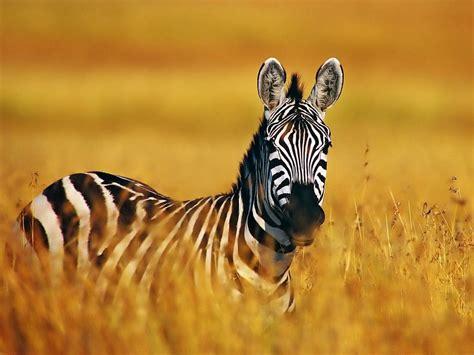imagenes de animales cebra el mundo de la cebra animales el mundo de los animales