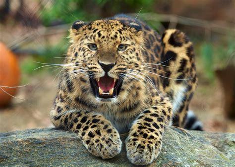 s leopard amur leopard connecticut s beardsley zoo
