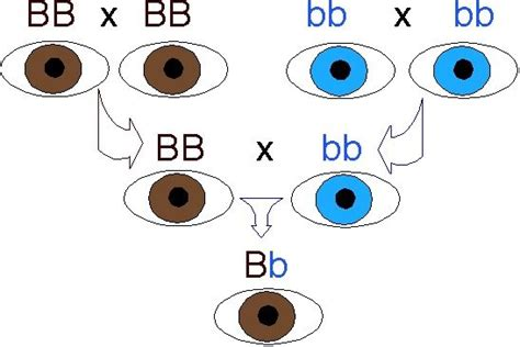 which eye color is dominant how do get their color