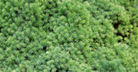 how to trim my yew shrub ehow uk