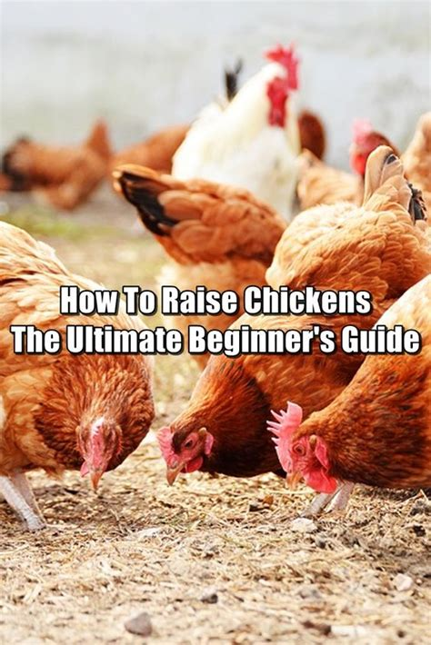 raising backyard chickens for eggs how to raise backyard chickens for eggs top 5 reasons to