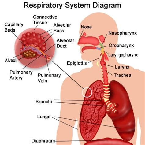 the respiratory system diagram best 20 respiratory system ideas on