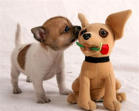 pictures of chihuahua puppies puppy pictures chihuahua pictures chihuahua puppy pics