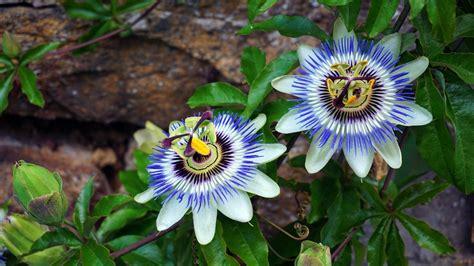 Plante Grimpante Pousse Rapide by 7 Plantes Grimpantes Qui Poussent Vite Pour Les Impatients