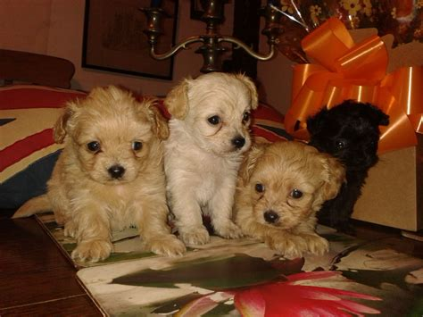 poochie puppy poochie or choodle pups poodle chihuahua lincoln lincolnshire pets4homes