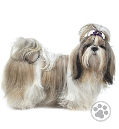 shih tzu sunglasses 17 best images about hair styles on sunglasses foo and image search