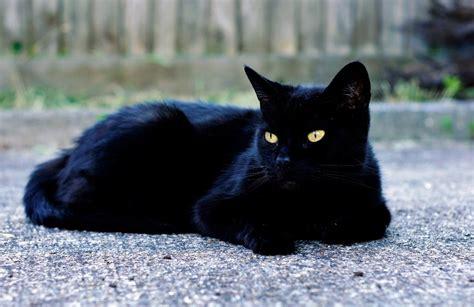 a black cat llbwwb shiney black cat by joshke stankbergas