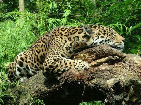 imagenes jaguar felino foto gratis jaguar felino sue 241 o imagen gratis en