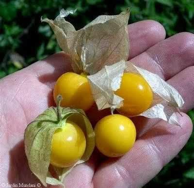 Bioster C 600mg Berkualitas kapsul ektract ciplukan murah surabaya herbal