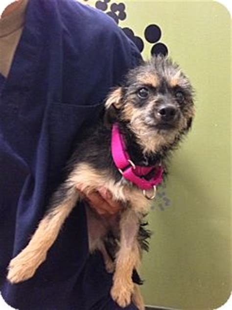 yorkie dachshund mix for sale yorkie terrier dachshund mix for adoption in ile perrot images frompo