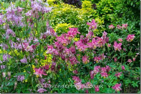 cottage garden border plants cottage garden lavender hedge