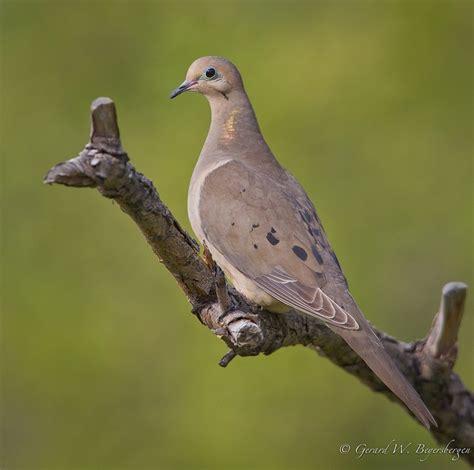 mourning dove birds of my backyard pinterest