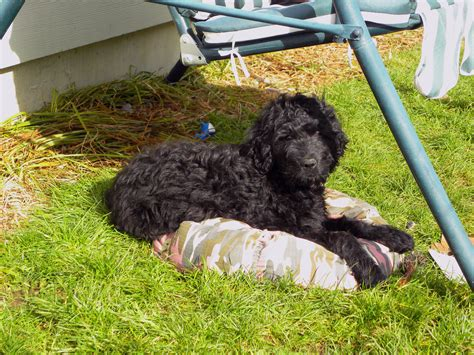 puppy stages by weeks the 7 puppy stages aussiedoodle and labradoodle puppies best labradoodle breeders