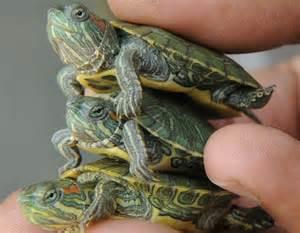 Turtle take back program aims to curb salmonella risk vitals