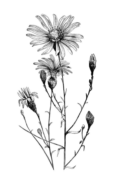black and white botanical art google leit botanical