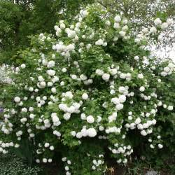 Flowering House Plants Identification Buy Snowball Tree Syn Sterile Viburnum Opulus Roseum