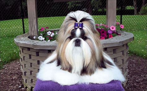 shih tzu bow 17 best images about bows shih tzu models on top models palaces and