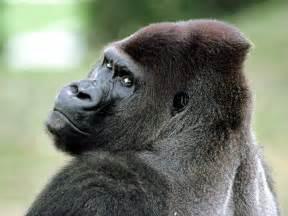 gorilla funny gorilla wallpaper for desktop funny animal