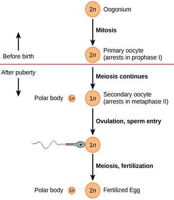 oogenesis flowchart difference between spermatogenesis and oogenesis