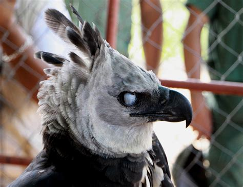 4 harpy eagle hd wallpapers background images