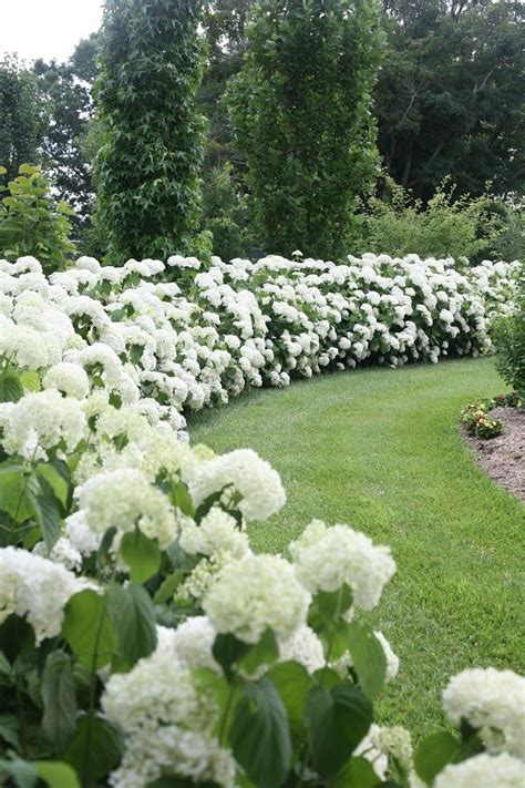 White Flower Gardens 17 Best Ideas About Garden Hedges On Hedges Hedges Landscaping And Hedging Plants