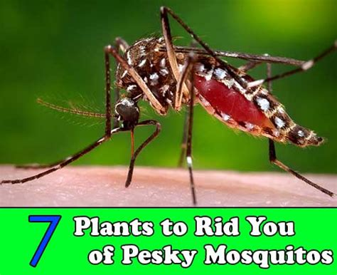 7 plants to rid you of pesky mosquitos home and