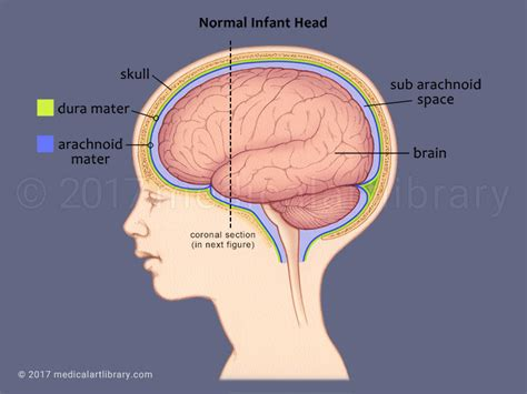 Baby Brain by Infant Brain Side View Library