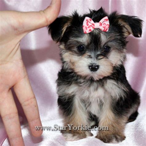 maltipoo yorkie yorkie maltese mix puppies dogs them