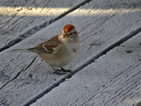 american tree sparrow my bird of the day