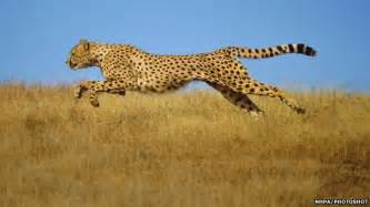 How Fast Does A Jaguar Run Cheetah S Speed Secrets Reveals Nepal Mountain News