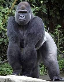 GORILA | Animales salvajes blog