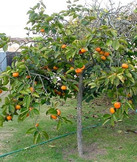 size fruit trees for sale fuyu persimmon persimmon fuyu known as the quot fruit of the