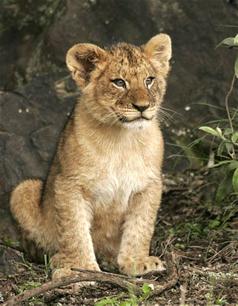 Quotes About Lion Cubs. QuotesGram