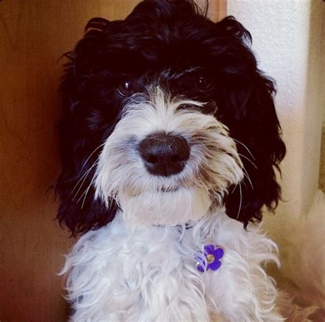 Non Shedding Dogs Australia by Our Dogs Labradoodles Dogs Australian Autism Asd Non Shedding