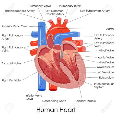 the heart is a simple diagram of the heart simple human heart labeled label heart diagram simple heart