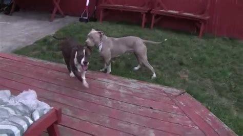 2 month pitbull puppy 2 pitbull puppy update 1 yr 2 months
