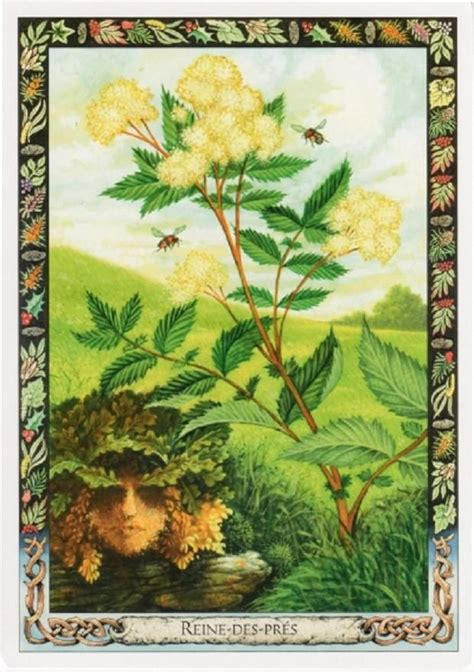the druid plant oracle 1859064191 the druid plant oracle meadowsweet filipendula ulmaria crafty crones tarot