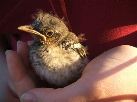 my baby mockingbird by electrikpinkpirate on deviantart